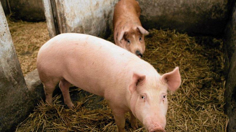 Rekompensaty za podlaskie świnie za niskie