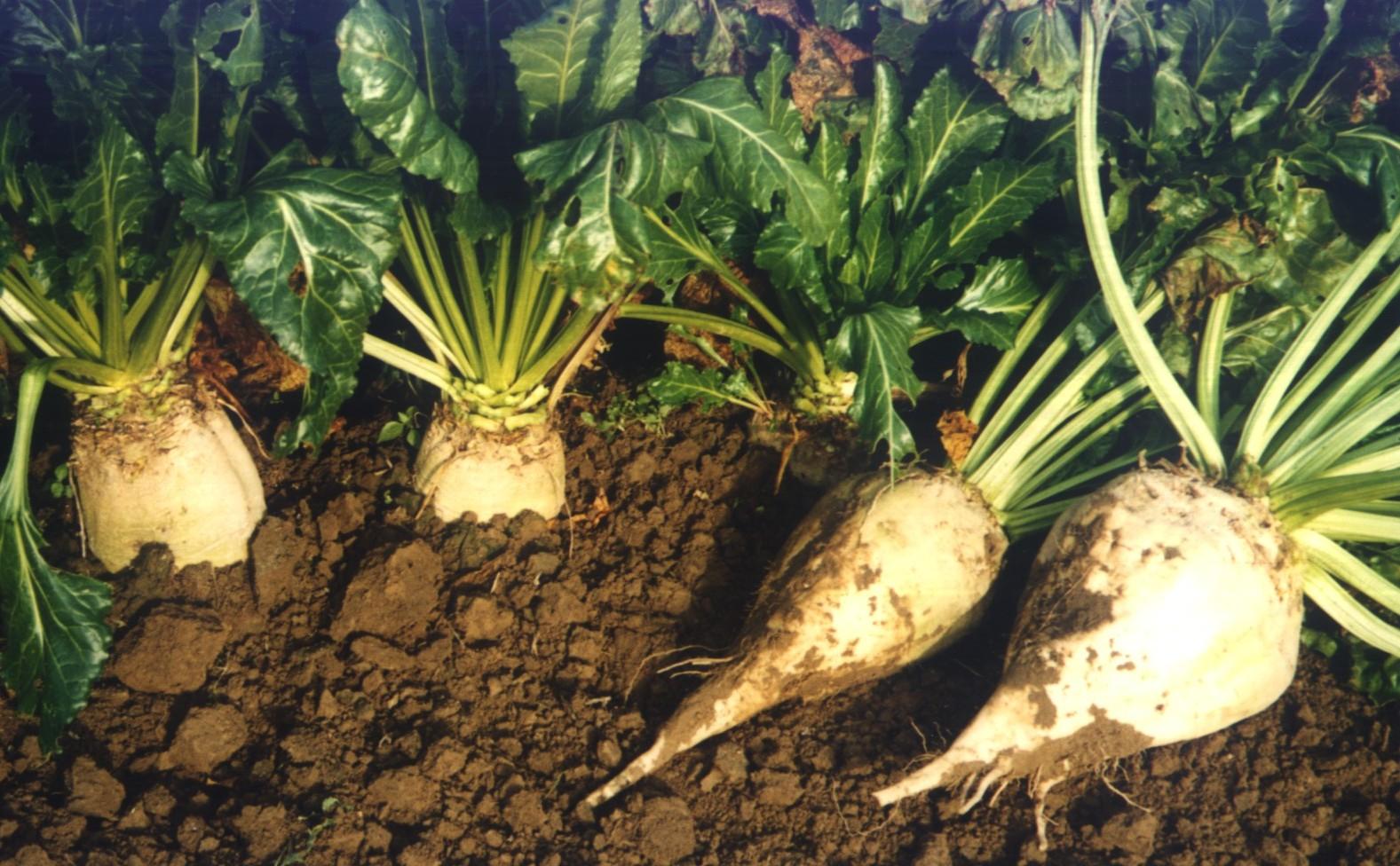 KRIR ponownie w sprawie utrzymanie dopłat do upraw buraka cukrowego