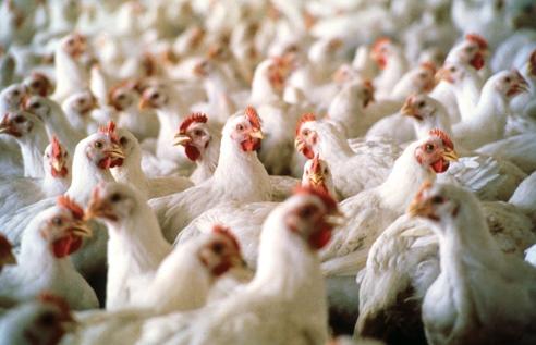 GIW w sprawie wykrytej grypy ptaków w Holandii i Wielkiej Brytanii