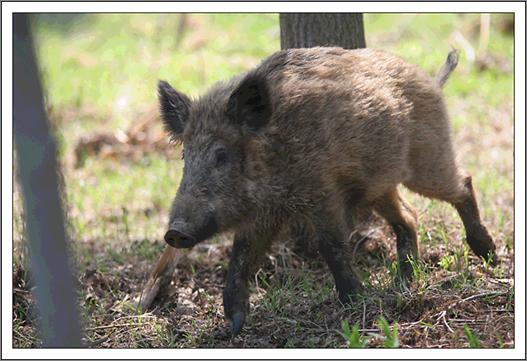 Zarząd KRIR za wydłużeniem okresu polowań zbiorowych na dziki