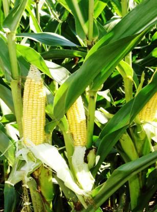 GMO: państwa członkowskie muszą mieć możliwość decyzji