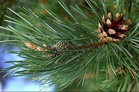 ASF: prośba o zaprzestanie wędrówek leśnych w strefie buforowej