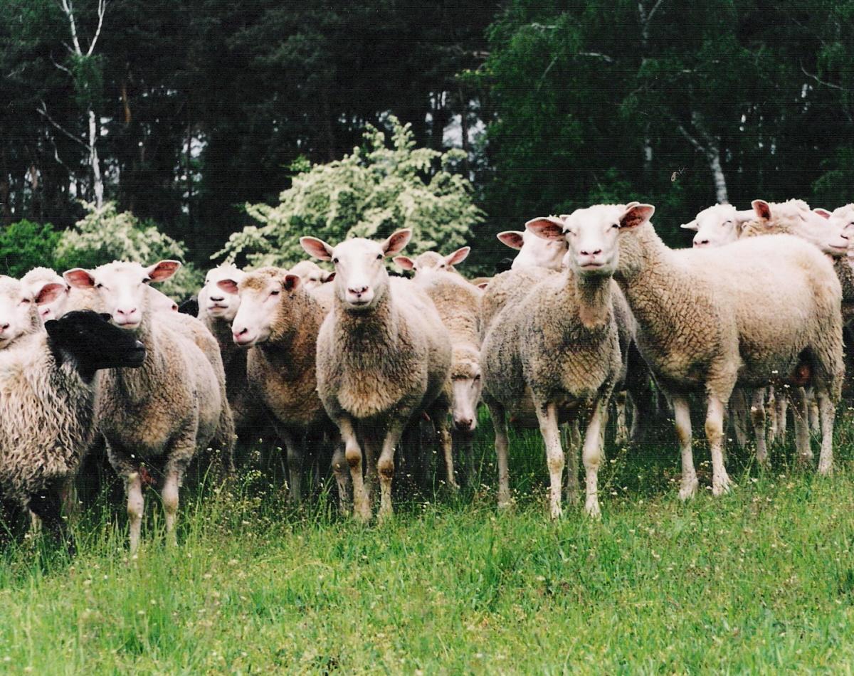 Problemy hodowców owiec