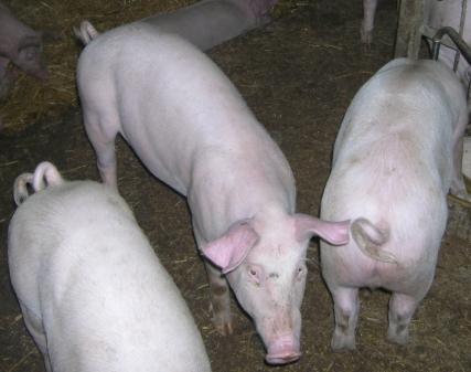 ASF - informacja dla hodowców i producentów świń