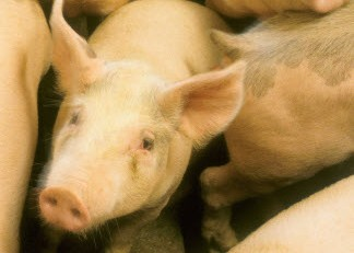 MRiRW w sprawie stanowiska producentów trzody chlewnej