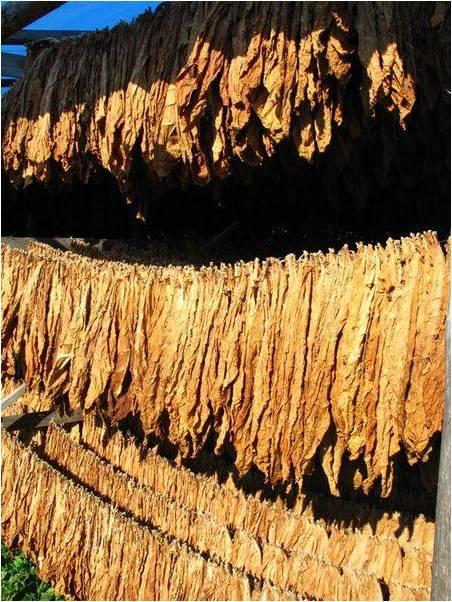 Sejmowa Komisja Rolnictwa zajmie się problemami producentów tytoniu