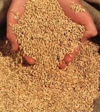 Informacje dla rolników eksportujących zboża